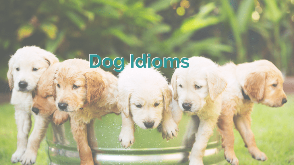 five golden retriever puppies looking cute as they hang out of a big bucket